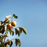 一家に一本、柿の木はいかがでしょう
